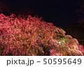 舞鶴公園多聞櫓近くの枝垂桜 夜桜 50595649