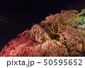 舞鶴公園多聞櫓近くの枝垂桜 夜桜 50595652