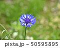 ヤグルマギク(矢車菊) 50595895