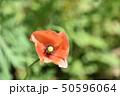 ナガミヒナゲシ 50596064