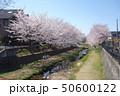 野川の桜(鞍尾根橋方向) 50600122