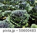 Morning sunlight with cauliflower head in the plot 50600483