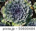 Morning sunlight with cauliflower head in the plot 50600484