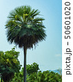 The big palm trees are flowering and sky blue. 50601020