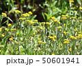 ハハコグサ(母子草) 50601941