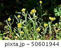 ハハコグサ(母子草) 50601944