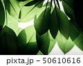 Backlit Green Leaf in Summer or Spring 50610616