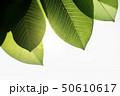 Backlit Green Leaf in Summer or Spring 50610617