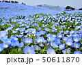 ネモフィラ ひたち海浜公園 花畑の写真 50611870