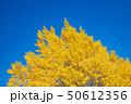 イチョウ 黄葉 紅葉の写真 50612356