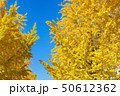 イチョウ 黄葉 紅葉の写真 50612362