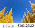 イチョウ 黄葉 秋の写真 50612382