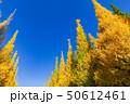 イチョウ 黄葉 秋の写真 50612461