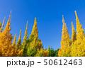 イチョウ 黄葉 秋の写真 50612463