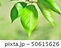新緑 50615626