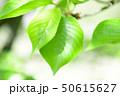 新緑 50615627