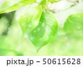新緑 50615628