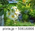 White Frangipani flowers, blooming flowers, 50616866