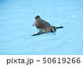 ペンギン フンボルトペンギン ペンギン科の写真 50619266