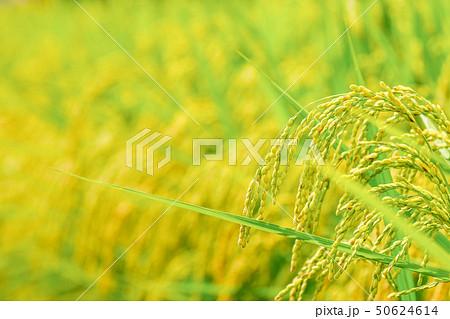 夏の稲 (8月) 50624614