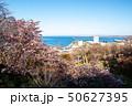 稚内公園の桜 50627395