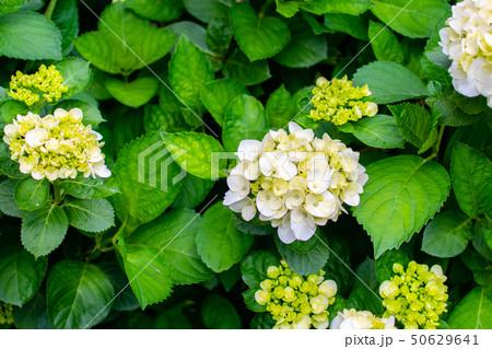 taiwan,green,flower,beauty,white,season,Hydrangea 50629641