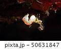ピグミーシーホース  Hippocampus pontohi 50631847
