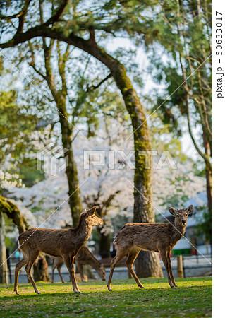 奈良公園:桜と鹿 50633017
