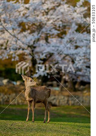 奈良公園:桜と鹿 50633105