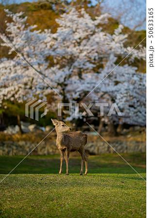 奈良公園:桜と鹿 50633165
