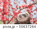 イタチと花桃 50637264