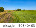 rural landscape with a road and field of wheat in Russia 50640463