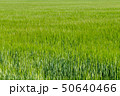 Background from fragment of field with young green wheat 50640466