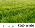 Background from fragment of field with young green wheat 50640469