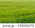 Background from fragment of field with young green wheat 50640470