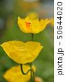 アイスランドポピー ポピー ケシ科の写真 50644020