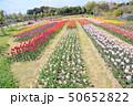 春の公園 チューリップ花畑 50652822