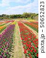 春の公園 チューリップ花畑 50652823