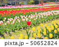 春の公園 チューリップ花畑 50652824