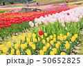 春の公園 チューリップ花畑 50652825