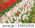 春の公園 チューリップ花畑 50652826