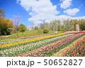 春の公園 チューリップ花畑 50652827