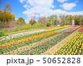 春の公園 チューリップ花畑 50652828