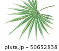 ノコギリヤシ 50652838