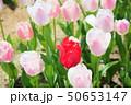 春の花壇 チューリップの花 50653147