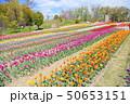春の公園 チューリップ花畑 50653151