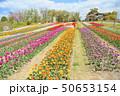春の公園 チューリップ花畑 50653154