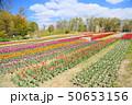 春の公園 チューリップ花畑 50653156