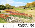 春の公園 チューリップの花畑 50653159