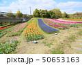 春の公園 チューリップ花畑 50653163